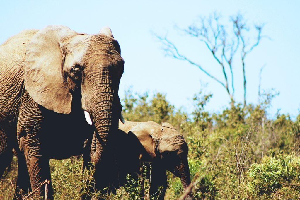 Elephant and baby walking